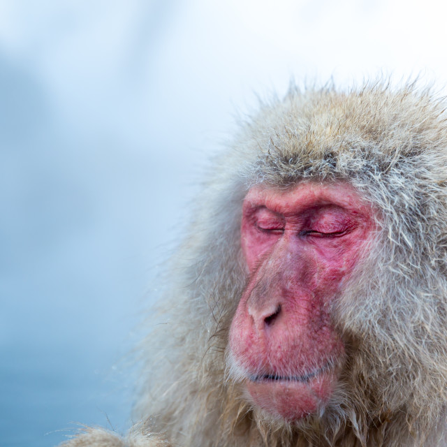 """Snow monkey Macaque Onsen"" stock image"