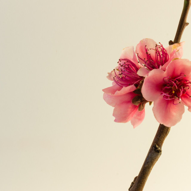 """Peach blossom on white"" stock image"