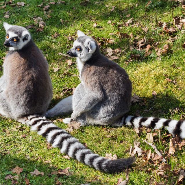 """Ring-tailed lemurs enjoying the sun"" stock image"