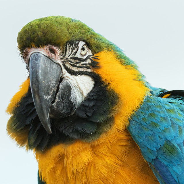 """""""Blue and Yellow Macaw close up"""" stock image"""