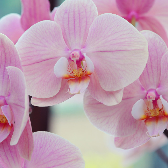 """Beautiful orchids close up"" stock image"