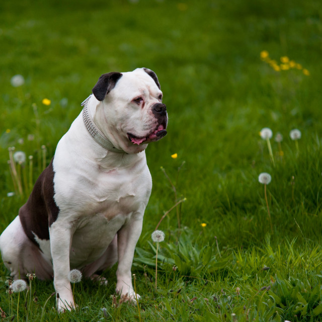"""American bulldog on green spring meadow"" stock image"