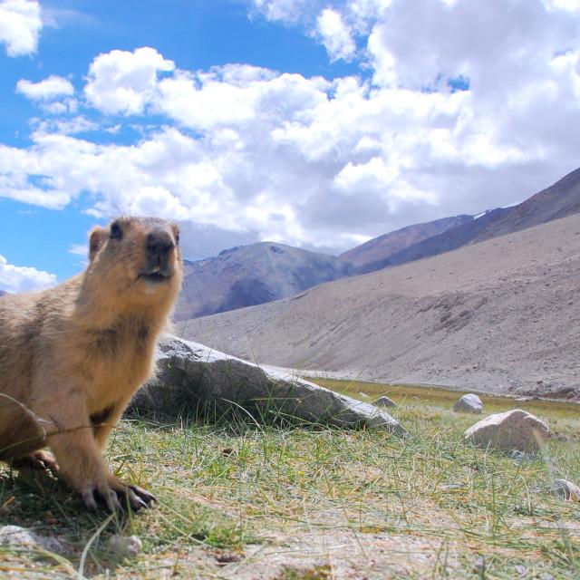 """In Marmot Territory"" stock image"