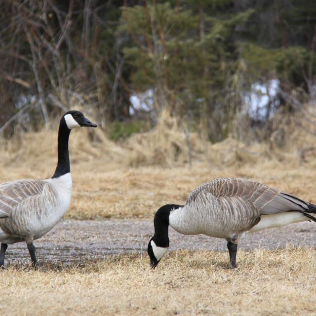 """Sandakan geese"" stock image"