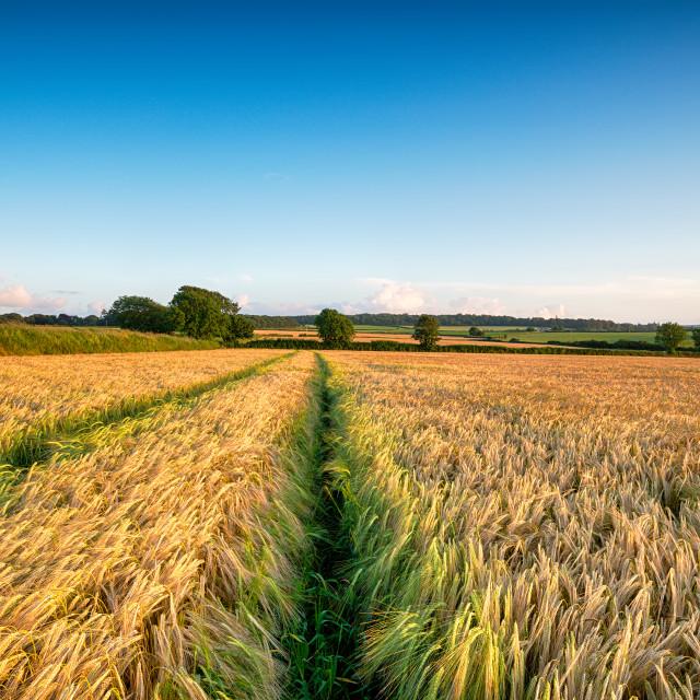 """Ripening Barley Field"" stock image"