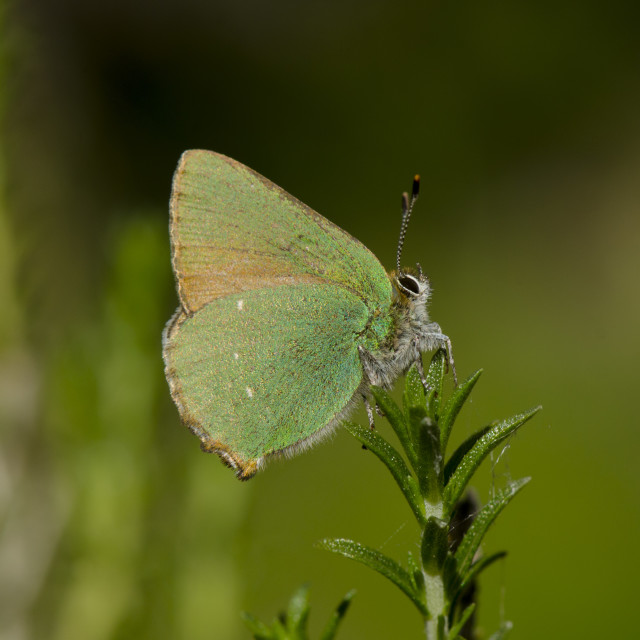 """Green butterfly on Thyme"" stock image"