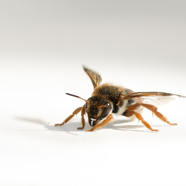 """Bee on white surface"" stock image"