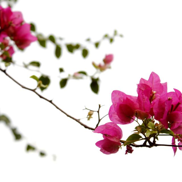 """Pink of Daylight"" stock image"