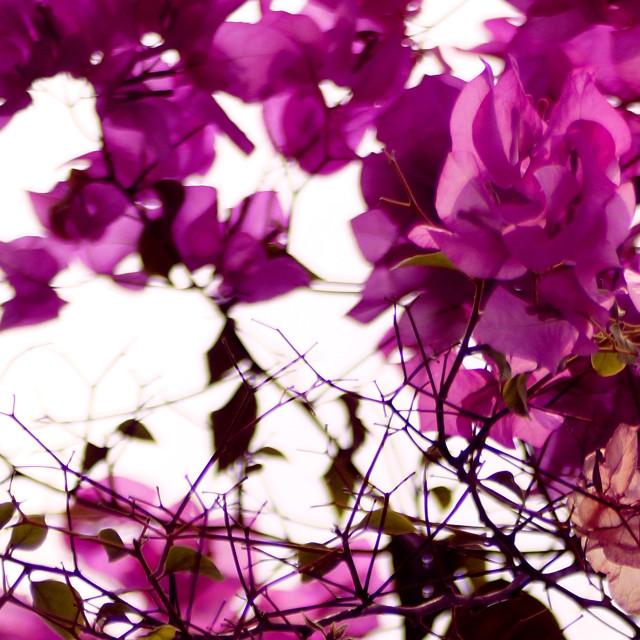 """Purple of Daylight"" stock image"
