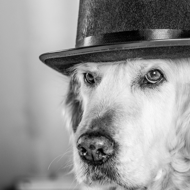 """Golden Retriever with a hat"" stock image"