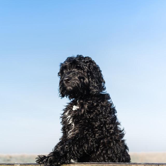 """Cockapoo Puppy Dog ."" stock image"