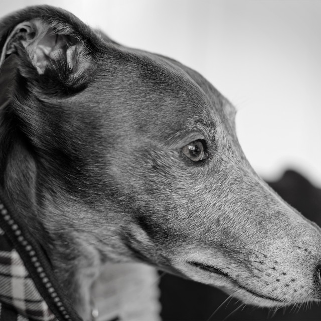 """Portrait of a Young Whippet. Black & White Film Effect."" stock image"