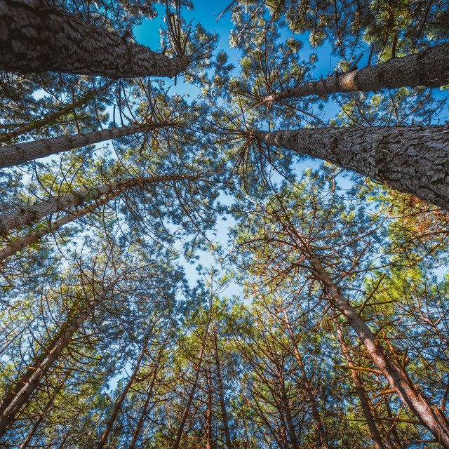 """""""Pine forest"""" stock image"""