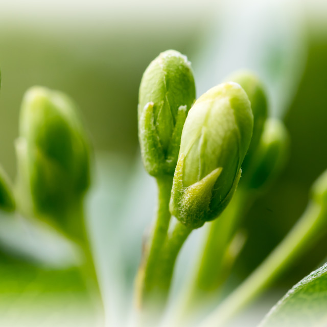 """""""New buds on a plant"""" stock image"""