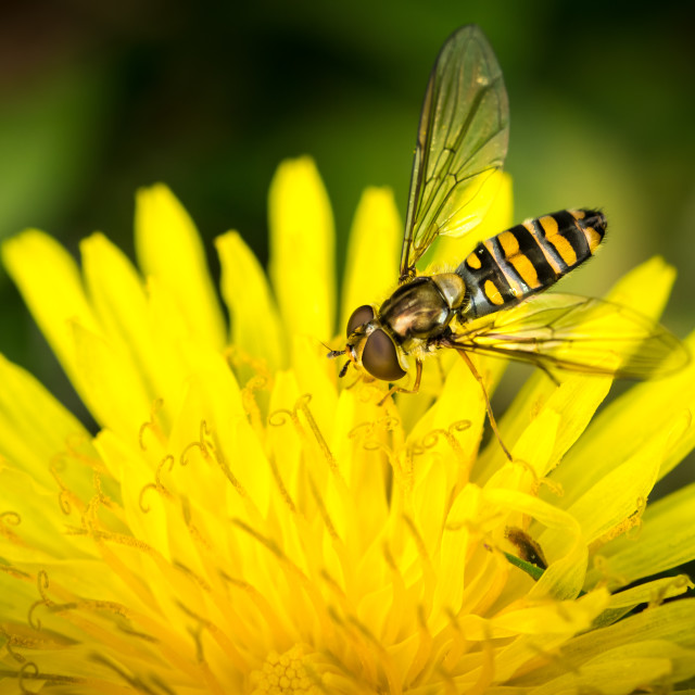 """Drone fly over yellow flower (Eristalis tenax)"" stock image"