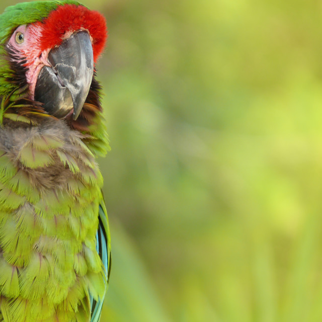 """Green Macaw wallpaper"" stock image"