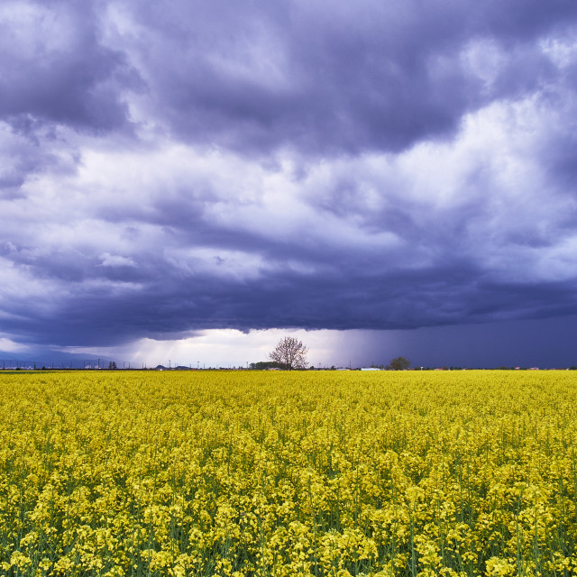 """Coleseed field"" stock image"