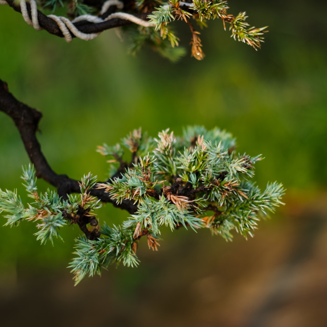 """Bonsai of pine"" stock image"