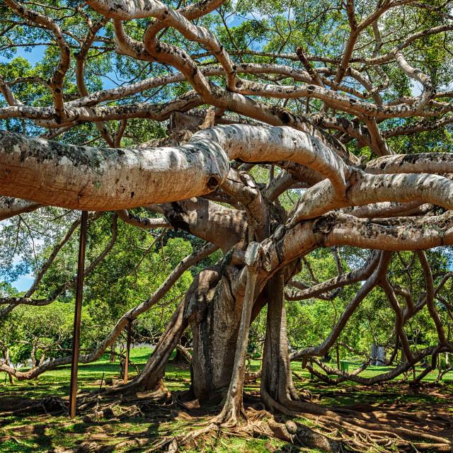 """Ficus Benjamina tree"" stock image"