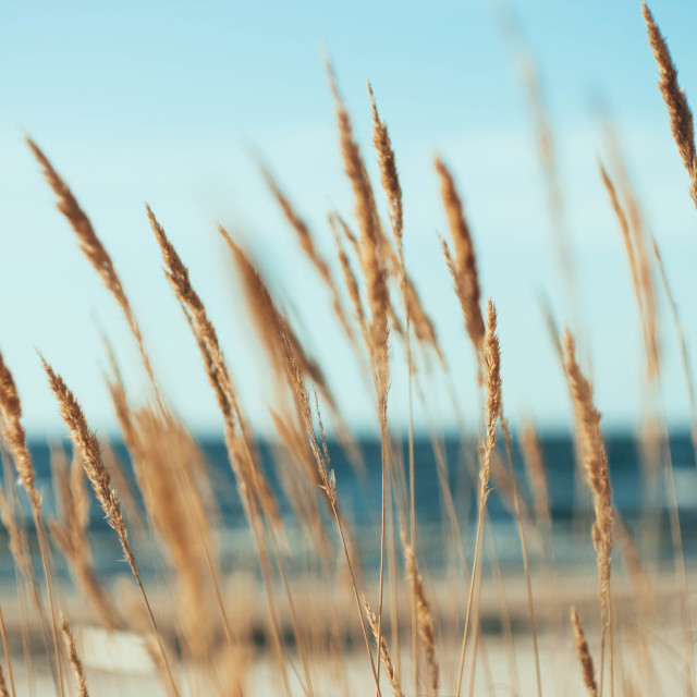 """Sea Grass in Wind"" stock image"