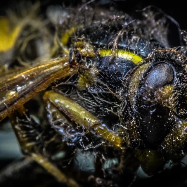 """Dead Wasp Macro"" stock image"