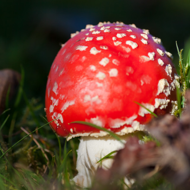 """A young fly agaric toadstool"" stock image"