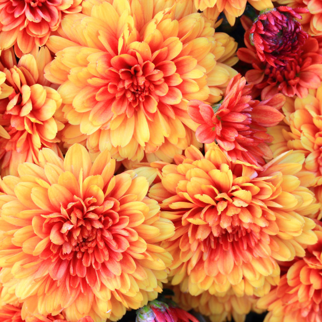 """Blooms of Colorful Fall (Autumn) Mums"" stock image"