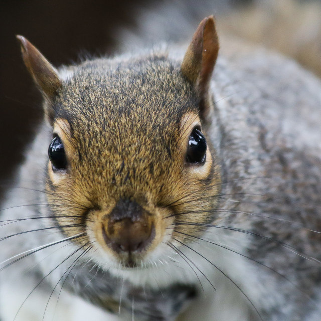 """Grey Squirrel Close Up"" stock image"