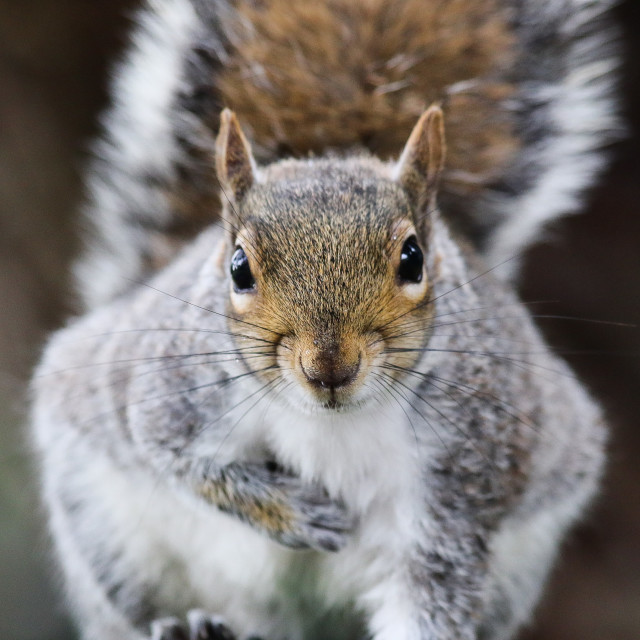 """Grey Squirrel Staring"" stock image"