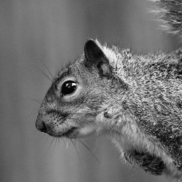 """Black and White Squirrel"" stock image"