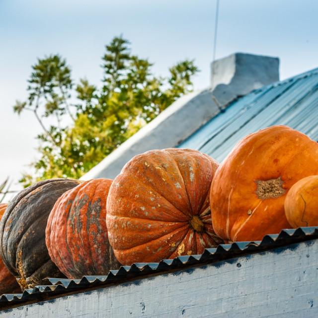 """Fresh pumpkins"" stock image"