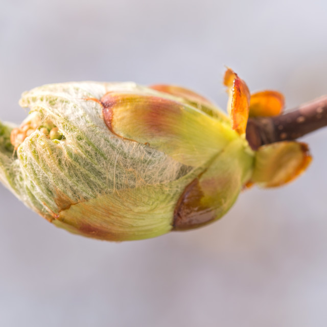 """""""A Horse-Chestnut Sprout"""" stock image"""