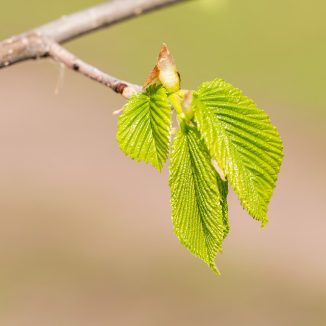 """Carpinus Betulus Leaves"" stock image"