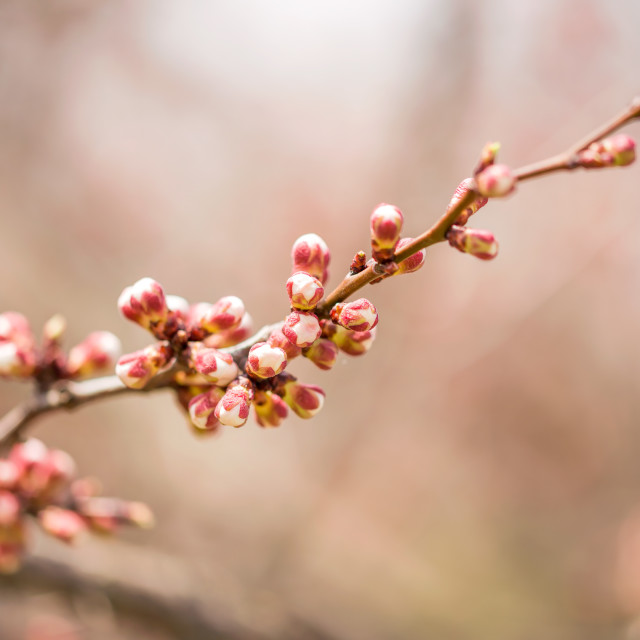 """Apple Tree Buds"" stock image"