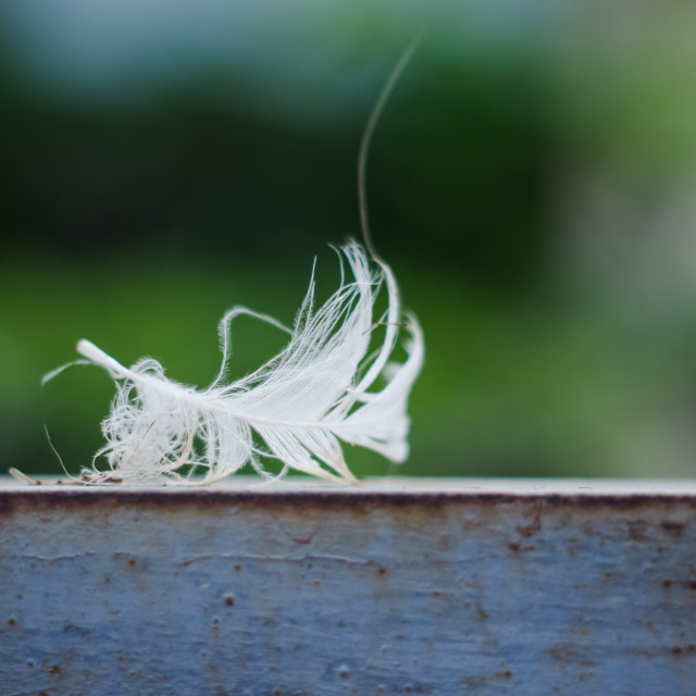 """A white feather in nature background"" stock image"