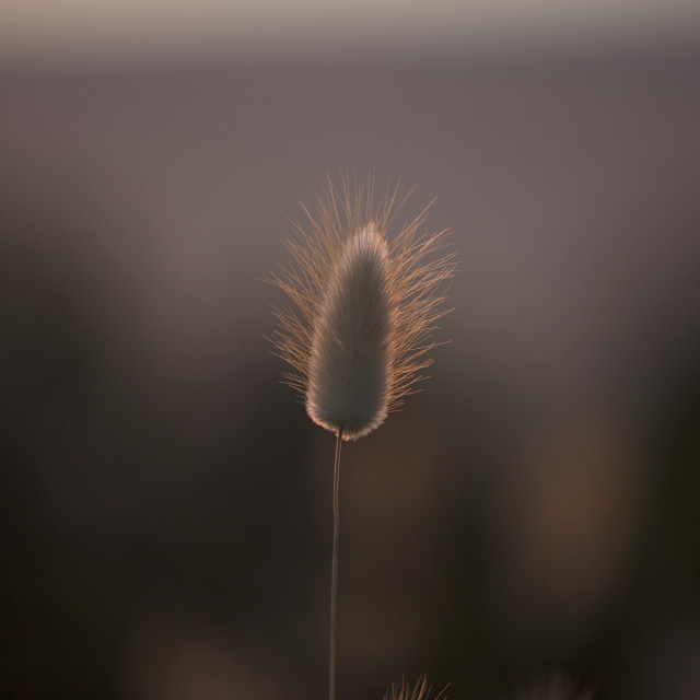 """Grass Seed Pod"" stock image"