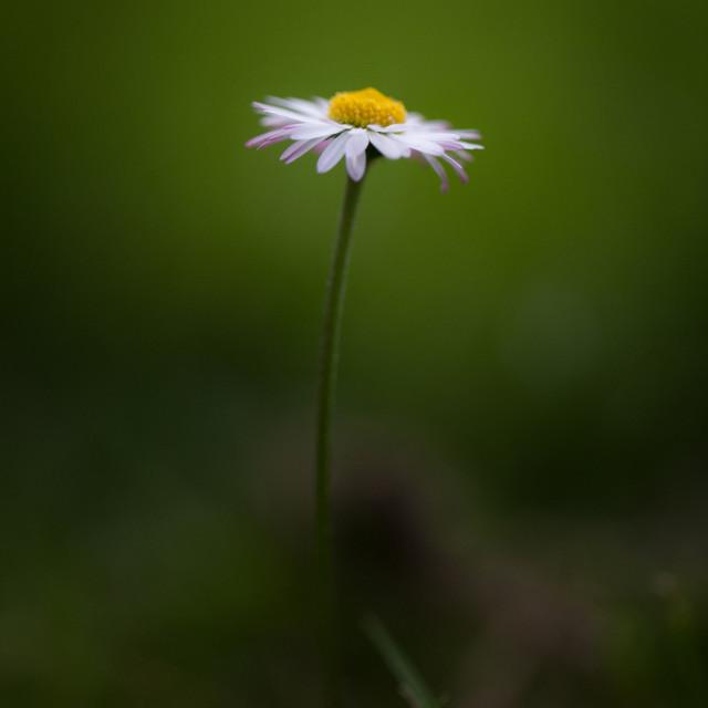 """""""A daisy"""" stock image"""