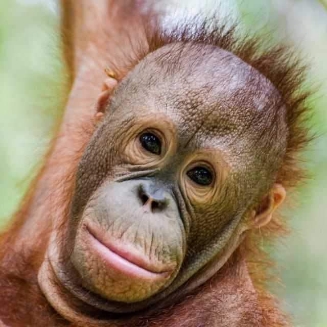 """""""Baby Orangutan, Itinban"""" stock image"""