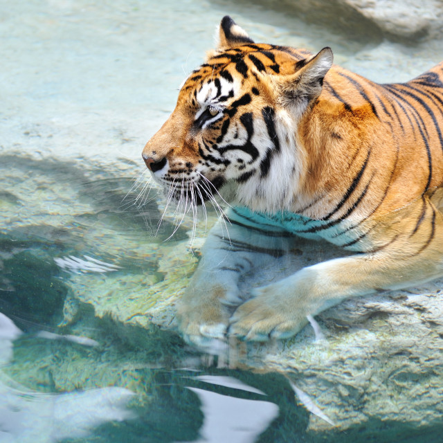 """""""Picture of a bengal tiger near the water ."""" stock image"""