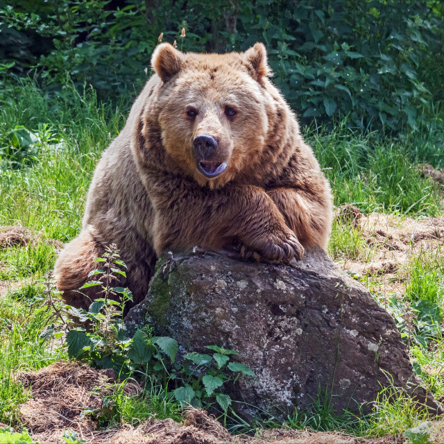 """""""Brown bear at rest"""" stock image"""