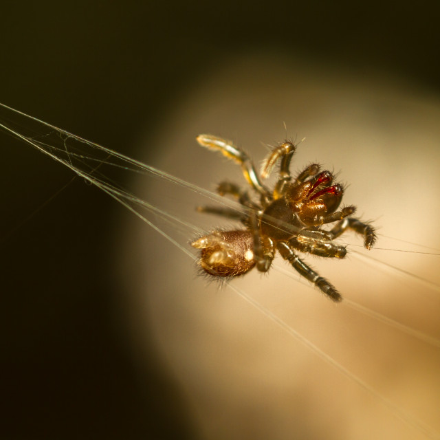 """Atypus affinis spiderling"" stock image"