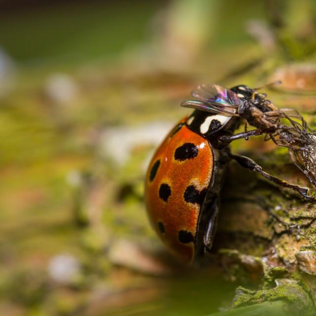 """Eyed Ladybird (Anatis ocellata)"" stock image"