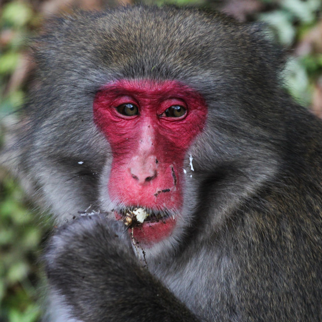 """Japanese Macaque"" stock image"