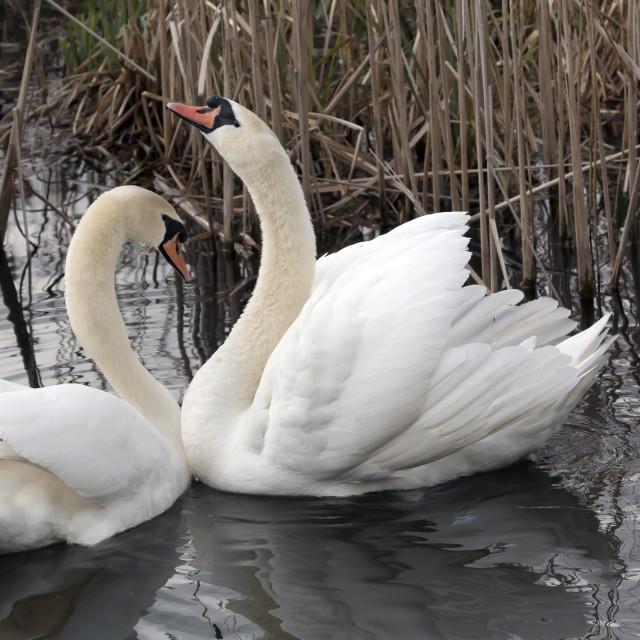 """Mute swan Greeting 1."" stock image"