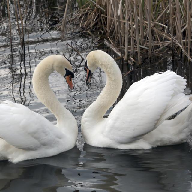 """Mute swan Greeting 2."" stock image"