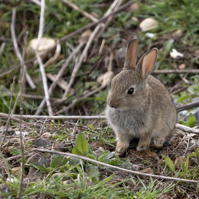 """Baby Rabbit."" stock image"