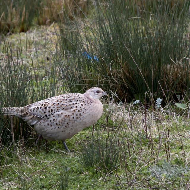 """A Female Pheasant."" stock image"