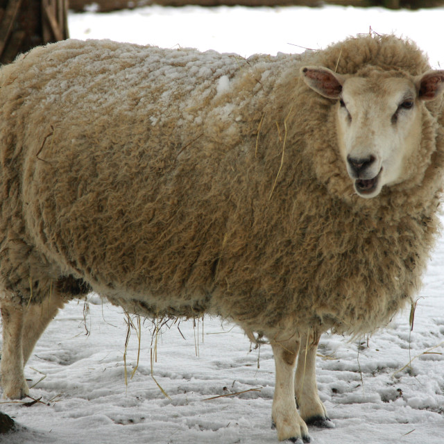 """Farm animal in winter time.."" stock image"