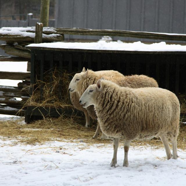 """Ships - farm animals."" stock image"
