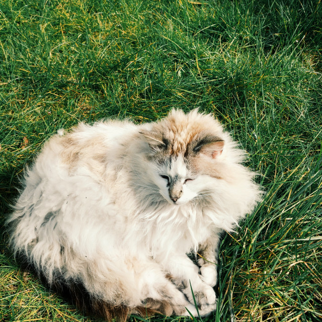 """Long Haired Cat In Grass"" stock image"